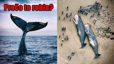 Photo of ZÁHADA: Proč velryby páchají sebevraždy?